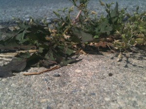 Pesky weeds growing between the sidewalk cracks.