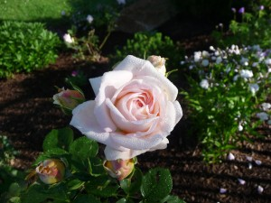 A lovely, fragrant rose from the Antique Rose Emporium in Texas
