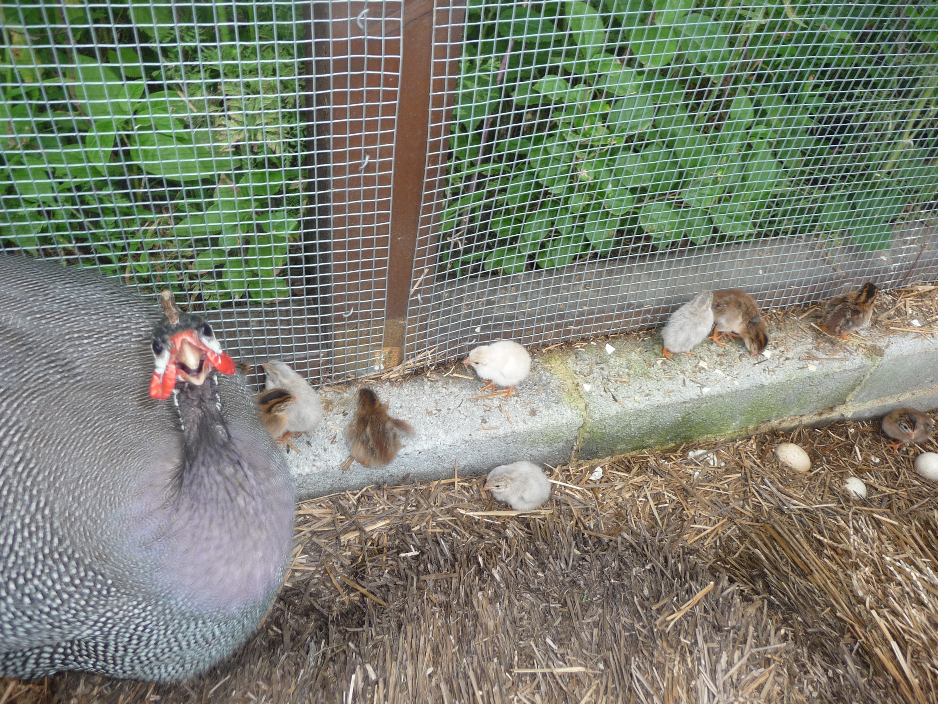 Raising Guinea Hens Including The Great Guinea Surprise
