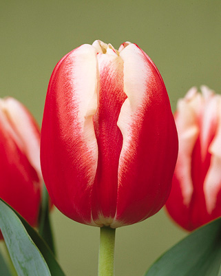 Leen van der Mark: A bicolored beauty . Red petals with tips that ...