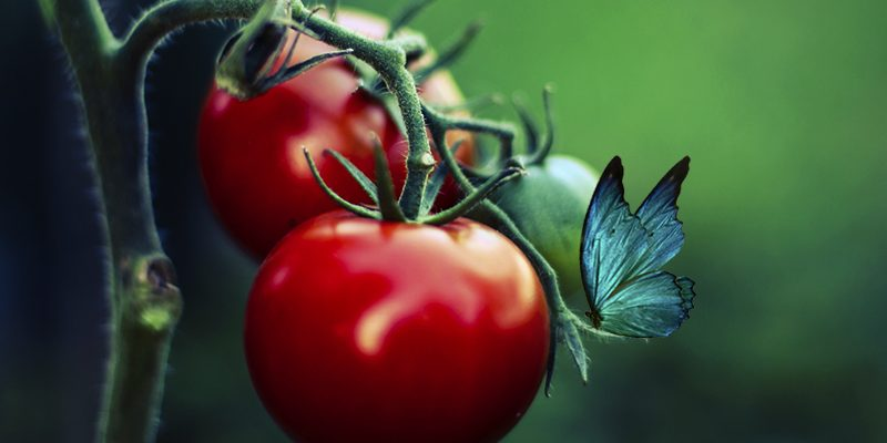 Death, Tomatoes, and Life Again