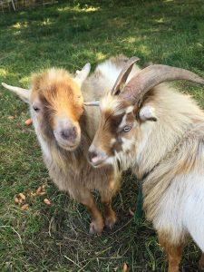 St Lukes Organic Farm Animals