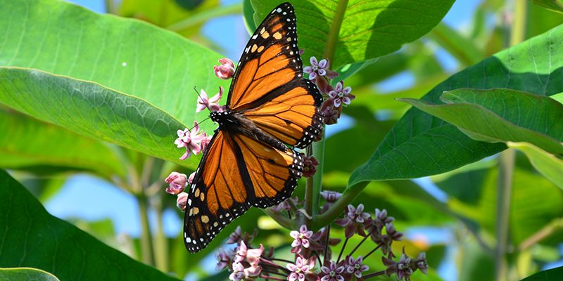 The Easy Way You Can Help Save the Monarchs