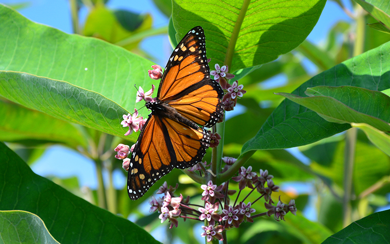 Save the Monarchs with Milkweed