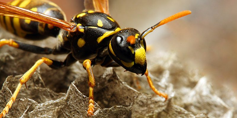 6 Nontoxic Ways to Keep Wasps Away